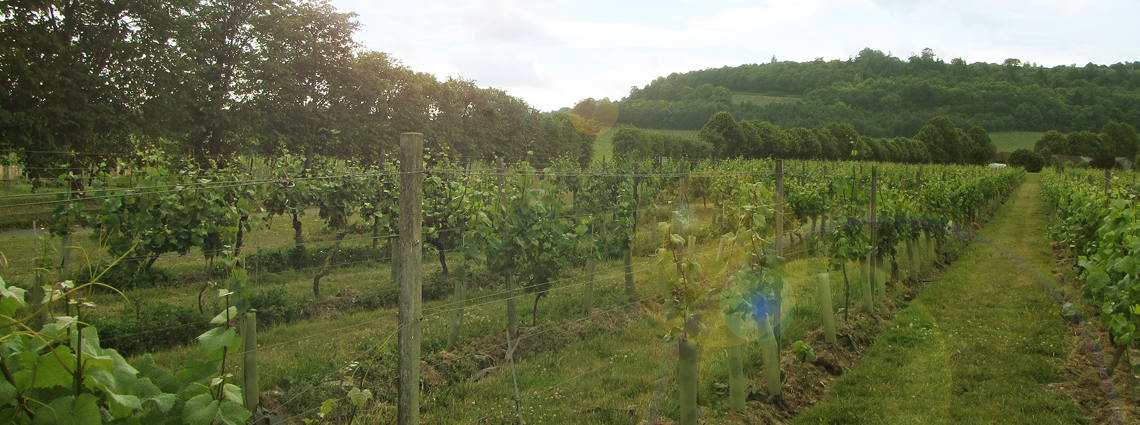 Dorking-vineyard